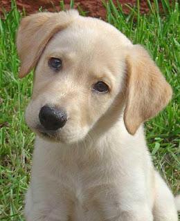 Fotos do cão labrador