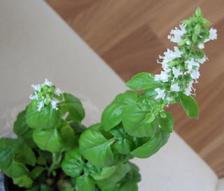 kukkiva basilika