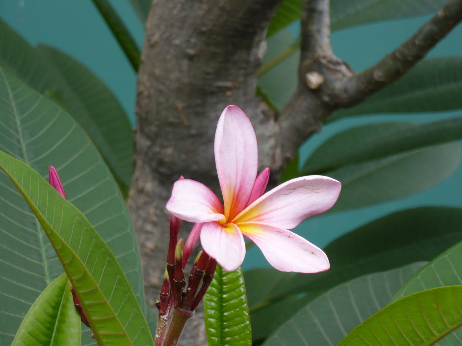 plumeria acuminata Plumeria rubra in the germplasm resources information network (grin), us department of agriculture agricultural research service vernacular names [ edit ] italiano: frangipani rosso.