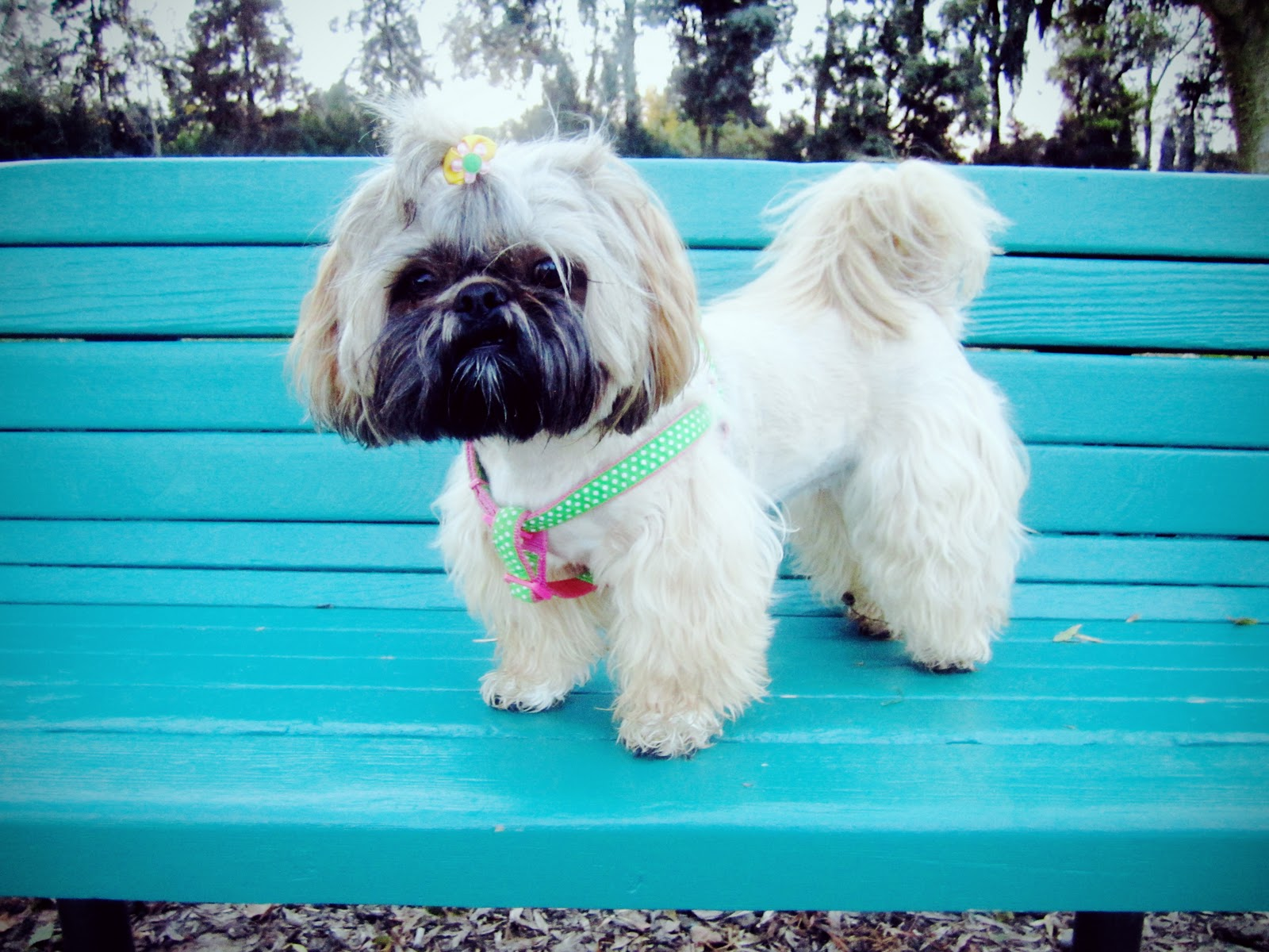shih tzu haircut