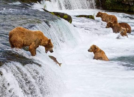 Nature wonder bear fishing in alaska for Snow bear ice fishing