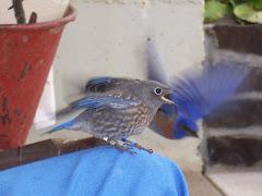 Bluebirds in flight