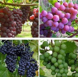 jenis anggur