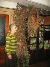 გამხმარი სამკურნალო მცენარეების კოლექცია