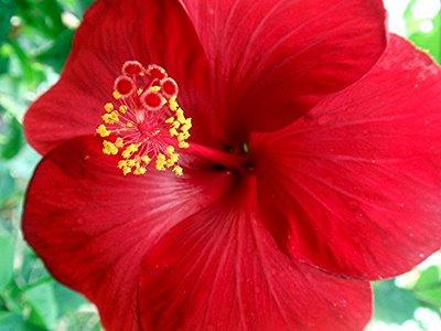 Foto Bunga Sepatu yang Cantik