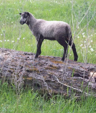 Sheltand ewe lamb