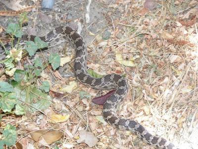 Bull snake in my garden rip baby bird amanda 39 s veranda the arizona edition for What do baby garden snakes eat