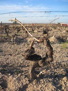 Fotos del sarmiento de la uva 48