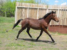 Hypoallergenic Pony Stallion