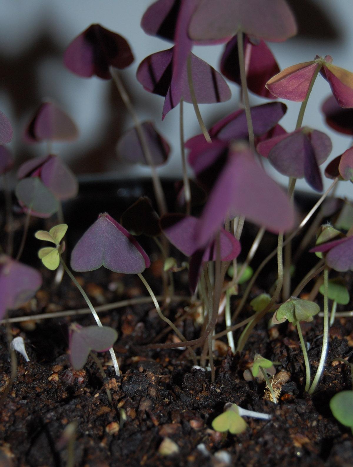 [purple+plant]
