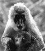 Primatología: ¿una plataforma sólida para las ciencias del comportamiento?