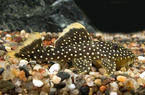 Petland Aquatics: Gold Nugget Pleco