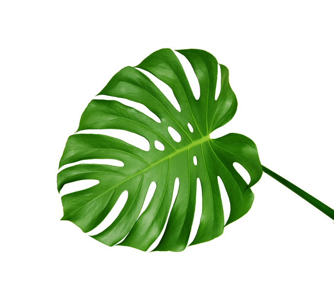 monstera leaf on pinterest leaves stencil and decals. Black Bedroom Furniture Sets. Home Design Ideas