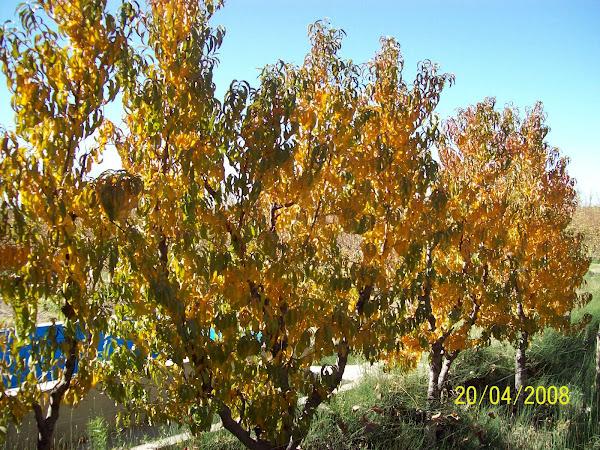 Durazneros en otoño