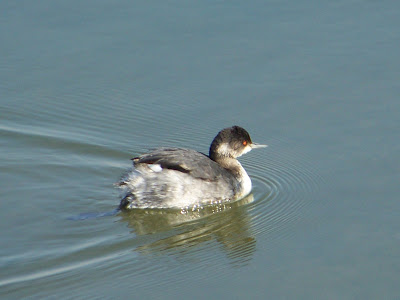 Eared Grebe at Bolsa Chica, Copyright Karen McQuade, OC Birder Girl