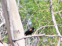 Red-winged Blackbird at Central Park