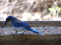 Scrub Jay at Tucker Wildlife Sanctuary