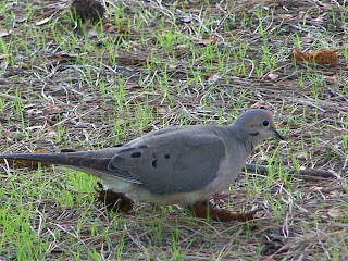Mourning Dove on the lawn near Shipley Nature Center in Huntington Central Park
