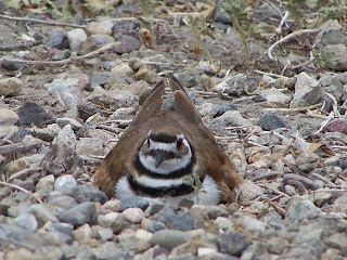 Killdeer on nest near path San Joaquin Wildlife Sanctuary