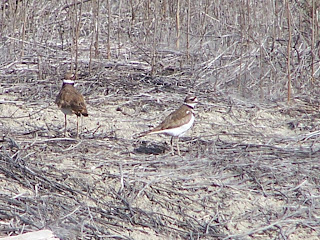 Killdeer couple at San Jacinto Wildlife Area in Riverside County