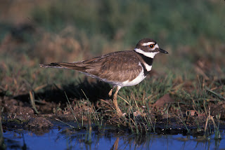 Killdeer photo courtesy of the US Department of Fish and Wildlife