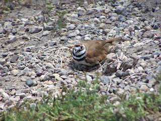 Killdeer at San Joaquin Wildlife Sanctuary