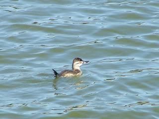 Female Ruddy Duck at San Joaquin Wildlife Sanctuary