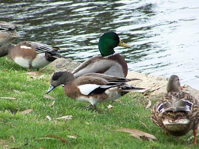 Mallard Ducks and American Wigeons at Tewinkle Park