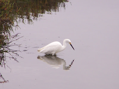 Snowy Egret Fishing at Bolsa Chica