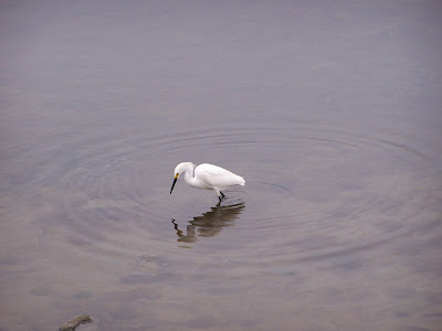 Fishing Snowy Egret at Bolsa Chica