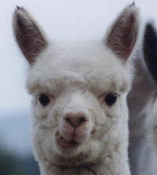 [alpaca+lips.jpg]