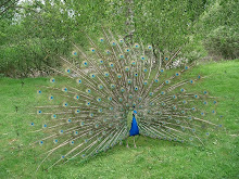 Blue Peafowl Display