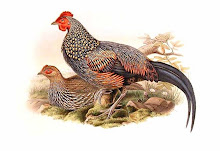 The Grey Junglefowl