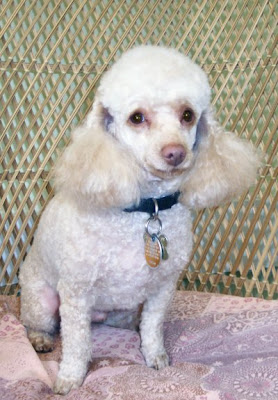 is a small toy poodle willy s owner likes a short hair cut on him it