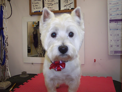 Dogs Hair Cuts Style on The Healthy Dog  Short Hair Cut On A Westie   West Highland Terrier