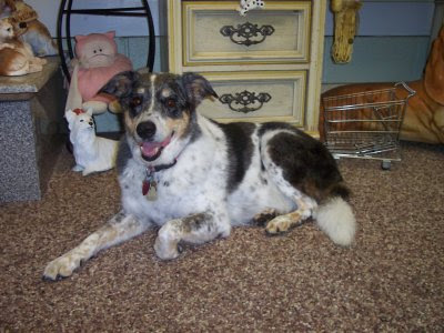smooth coat (short hair, she weighs about 50 pounds) border collie who