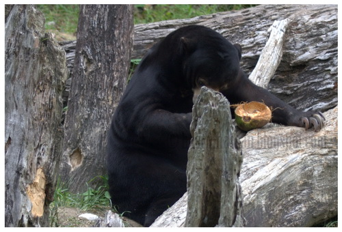Kisah Beruang, Singa dan Babi