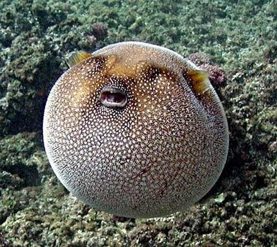 Strange Puffer Fish Unusual Things