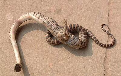 Unusual Snake With Foot Discovered Seen On  www.coolpicturegallery.us