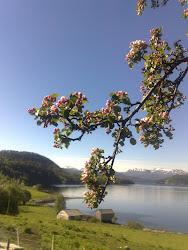 Epletreet blomstrer