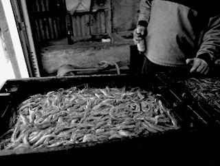 port clyde, maine shrimp, fresh, catch