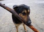 Zwierzęta do adopcji - Wilczur