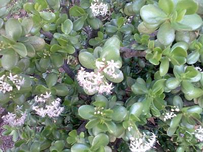 Plantas de interior: Crassula ovata em flor