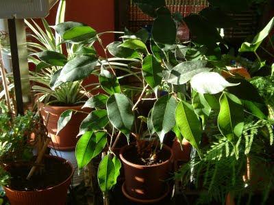 Plantas de interior: Ficus benjamina