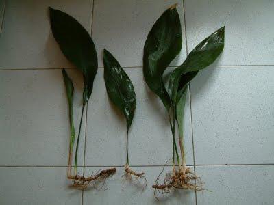 Plantas de interior - Aspidistra elatior