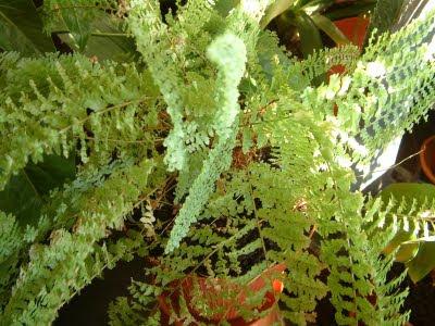 Plantas de interior: Nephrolepis exaltata
