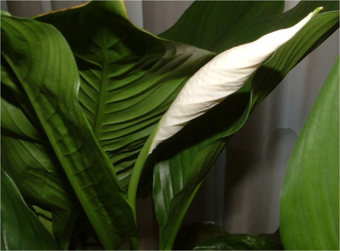 Spathiphyllum wallisii ou l rio da paz plantas de - Ver plantas de interior ...