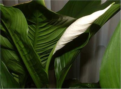 Plantas de interior : Flor do Spathiphyllum Mauna Loa