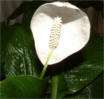 Plantas de interior - Spathiphyllum wallisii