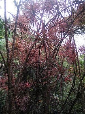 Plantas de interior : Dracaena marginata no Havai